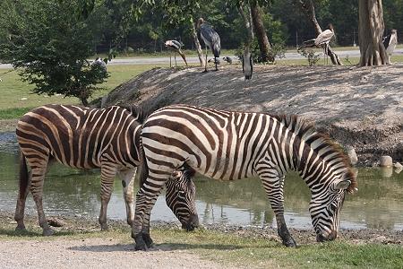 سافاری : باغ وحش بانکوک - تایلند