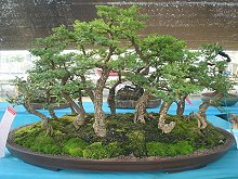 More Information about Bonsai in Thailand
