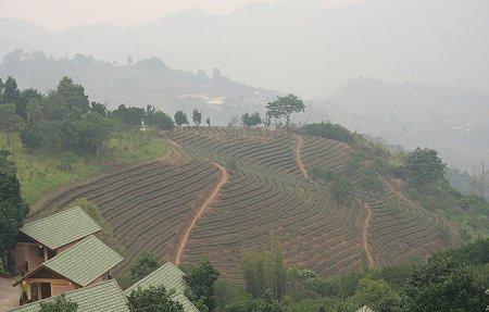 Maesalong Tea Plantations